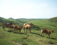 Vacas Braña el Chamaraxil