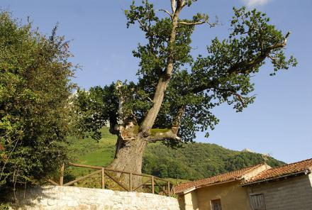 Roble de Bermiego
